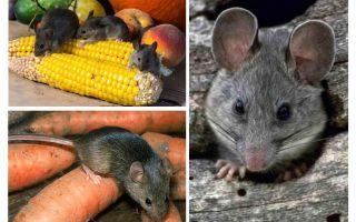 Πώς να χειριστείτε ποντίκια στη χώρα και στον ιστότοπο