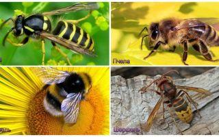 Ποια είναι η διαφορά μεταξύ της σφήκας, της μέλισσας, του bumblebee, του hornet