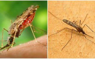 Τι μοιάζουν τα κουνούπια της ελονοσίας και πόσο επικίνδυνα είναι για τους ανθρώπους