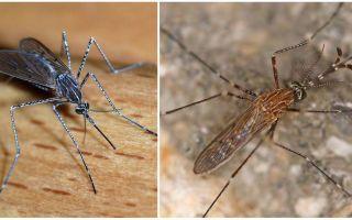 Περιγραφή και φωτογραφίες των ειδών κουνουπιών
