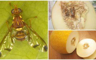Περιγραφή μύγας πεπονιού και μέθοδοι αντιμετώπισης του