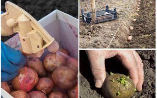 Πριν από τη διαδικασία φύτευσης, τα πατάτα από το σκαθάρι της πατάτας του Κολοράντο και το σύρμα