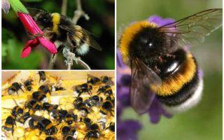 Περιγραφή και φωτογραφίες της γης μέλισσα
