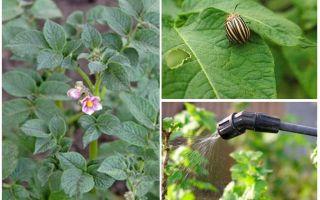 Είναι δυνατή η επεξεργασία πατάτας από σκαθάρια Κολοράντο κατά τη διάρκεια της ανθοφορίας