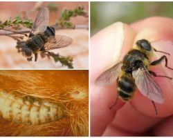 Ποια είναι η gadfly, ο τρόπος ζωής