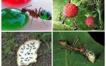Τι μυρμήγκια τρώνε στη φύση