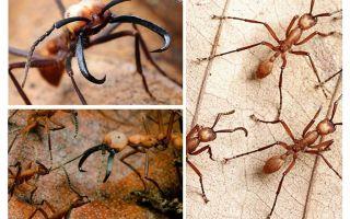 Τα πιο επικίνδυνα μυρμήγκια στον κόσμο