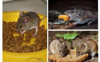 Ποιο δόλωμα πρέπει να τοποθετήσετε σε μια ποντικοπαγίδα
