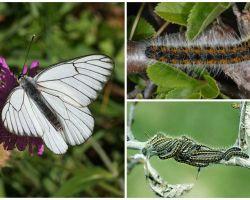 Περιγραφή και φωτογραφία της κάμπιας και πεταλούδας Hawthorn πώς να πολεμήσουν