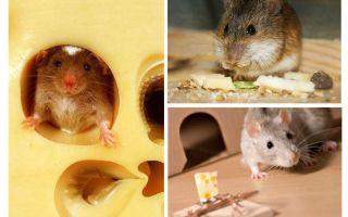 Τα ποντίκια τρώνε τυρί ή όχι