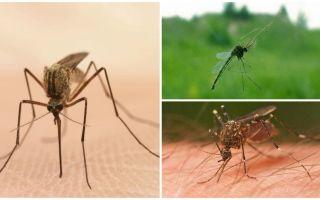 Ενδιαφέρουσες πληροφορίες για τα κουνούπια