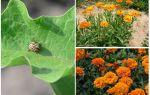 Πώς να προστατεύετε και να προστατεύετε τις μελιτζάνες από το σκαθάρι της πατάτας του Κολοράντο