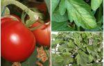 Αφίδες στις ντομάτες - τι να επεξεργαστούν και πώς να πολεμήσουν
