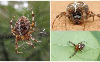 Crusader Spider Περιγραφή και φωτογραφίες