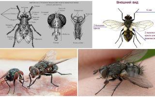 Η δομή της μύγας