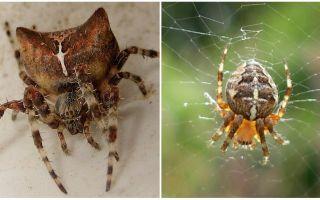 Spider jog: φωτογραφία και εφέ μετά από ένα δάγκωμα