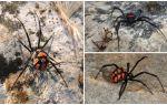Περιγραφή και φωτογραφίες των καζακστάνων αράχνων
