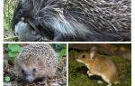 Οι σκαντζόχοιροι τρώνε ποντίκια