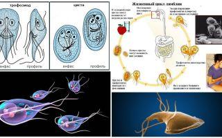 Ο κύκλος ζωής του Giardia και η θεραπεία των κύστεων