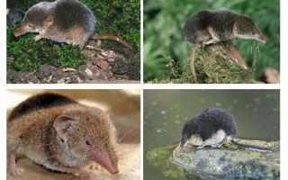 μέγαιρα ποντίκι