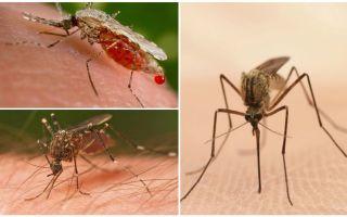 Πόσα κουνούπια χρειάζεστε για να πιείτε όλο το αίμα