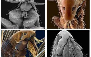 Τι ψύλλοι μοιάζουν στη φωτογραφία: οι ποικιλίες και τα δομικά χαρακτηριστικά τους
