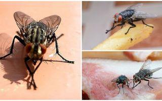 Γιατί οι μύγες τρίβουν τα πόδια τους