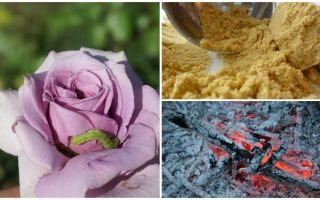Πώς να ψεκάσετε τριαντάφυλλα από κάμπιες και αφίδες