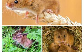 Πού ζουν τα ποντίκια