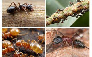 Κηπουροί μυρμήγκια βλάβη και όφελος