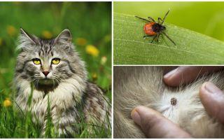 Τι να κάνετε και πώς να αντιμετωπίζετε ένα τσιμπούρι σε γάτα ή γάτα