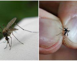 Πώς να γεννήσετε και πόσα κουνούπια ζουν