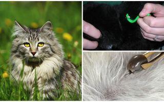 Πώς να αφαιρέσετε ένα τσιμπούρι από γάτα ή γάτα