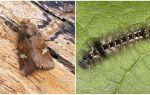 Περιγραφή και φωτογραφία των πεταλούδων και των κάμπιων βγάζει πώς να πολεμήσουν