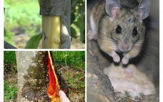 Πώς να αποθηκεύσετε το δέντρο μήλων, εάν ο φλοιός μολυνθεί με ποντίκια