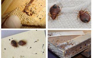 Τι φαίνεται ένα έπιπλο bug και πώς να το ξεφορτωθεί