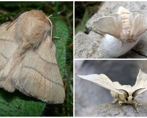 Περιγραφή και φωτογραφία της πεταλούδας της κάμπιας και της μεταξοσκώληκας