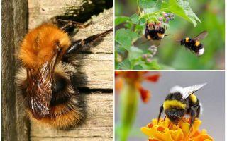 Πώς να αφαιρέσετε τα bumblebees από το σπίτι