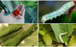 Πώς να απαλλαγείτε από κάμπιες στις φράουλες