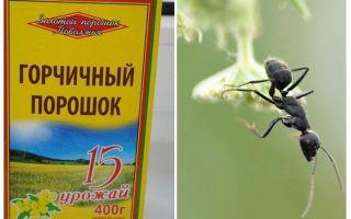 Μουστάρδα σκόνη από τα μυρμήγκια και τις αφίδες στον κήπο
