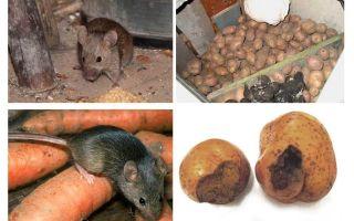 Πώς να βγάλει τα ποντίκια από το κελάρι