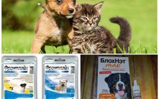 Πώς και πώς να προστατεύετε ένα σκυλί από τα κουνούπια και τις μαύρες μαύρες