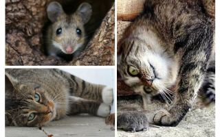 Οι γάτες και οι γάτες τρώνε ποντίκια;
