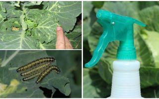 Πώς να απαλλαγείτε από τις πεταλούδες και τις κάμπιες λάχανο