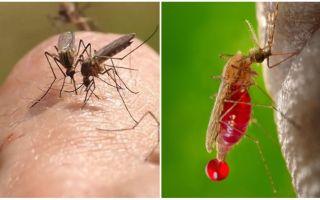 Πόσες φορές μπορεί να τσιμπήσει ένα κουνούπι