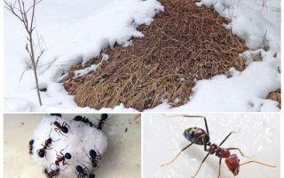 Τι κάνουν οι μυρμήγκοι το χειμώνα