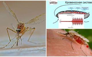 Ενδιαφέρουσα στοιχεία για τη δομή των κουνούπια