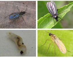 Πώς να απαλλαγείτε από μαύρες μύγες σε φυτά εσωτερικού χώρου και γλάστρες
