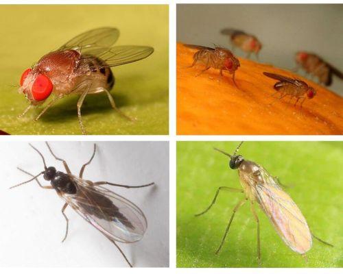 Πώς να απαλλαγείτε από τις μαύρες μύγες στην κουζίνα