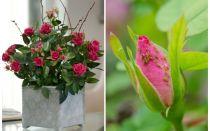 Αφίδες σε τριαντάφυλλα - πώς να χειριστείτε και πώς να ξεφορτωθείτε